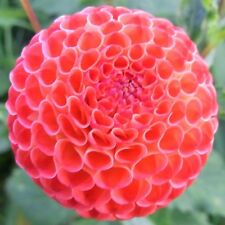 Flower seed - DAHLIA POMPON DOUBLE MIX - Imported from UK