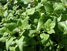 SPINACH, NEW ZEALAND,  HEIRLOOM, ORGANIC 25+ SEEDS, GREAT FOR SALADS & COOKING