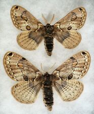 Insect/Moth/ Acanthobrahmaea europaca - Pair 3""
