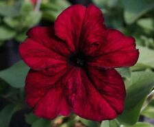 Petunia Express Burgundy - 50 Pelleted seeds - Annual