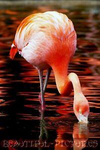 Tier Foto - Flamingo im Wasser - Naturfoto - Hochglanz - Größe 10x15 - Farbe