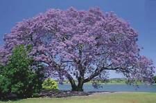 JACARANDA MIMOSIFOLIA - JACARANDA, 10 SEMI