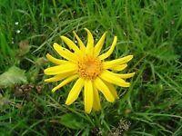 100 Samen von Arnica montana, Bergarnika, Bergwohlverleih, Arnika