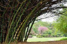 Samen Saatgut exotische Zimmer-Pflanzen Terrasse Balkon BAMBUSA-BAMBUS