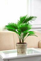 Die immergrüne Schirm-Palme gehört zu den robusten Solitärpflanzen.