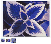100 blue Coleus seeds, beautiful flowering plants, potted bonsai balcony