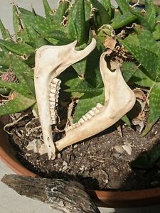 Natural Deer Jaw Bones from Texas for decoration or crafts