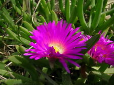 Native Pink Pigface Plant  6 x CUTTINGS 20cm Carpobrotus glaucescens Succulent