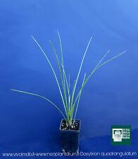 DASYLIRION QUADRANGULATUM vq 7x7x10 cm Mexican Grass Tree plant