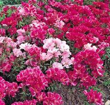 Flower - Godetia - Azalea Flowered double mix - Appx 3000 seeds - Annual