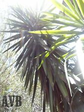 """Giant Yucca - 1 Severed Top (12"""") - Exotic ✿ Iconic ✿ Die Hard - Yucca aloifolia"""