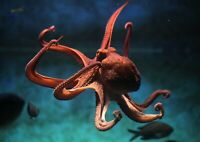 A1 | Underwater Octopus Poster Art Print 60 x 90cm 180gsm Scuba Dive Gift #8329