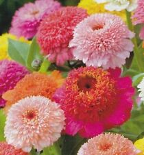 F0543 Zinnia Scabiosa Flowered x100 seeds Colour Cottage Flower Garden