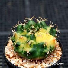 Gymnocalycium * Variegata * Very nice seed grow / Rare cactus