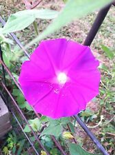 Japanese Morning Glory-Akatsuki no Beni-Big Beautiful Blooms-10 Seeds-2015