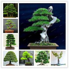 Mini Pine Bonsai Indoor Plants Japanese Bonsai Pine Tree Garden Potted Plant