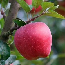 Apple Seeds 15 Red Delicious Apple Seeds