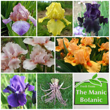 Bearded Iris - Collection of 6 Award & Medal Winning Iris - Ideal Gift