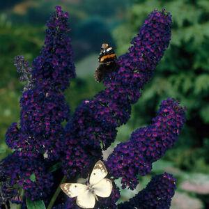 Buddleia Black Knight - Long Flowering Butterfly Garden Shrub