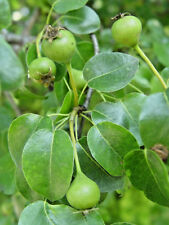 Wild Pear tree PYRUS PYRASTER edible fruit wildlife plant, hardy, Autumn colour