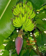 Musa hookeri / sikkimensis @ Ess-Banane @ WINTERHART @ Fruchtbanane @ 30 Samen