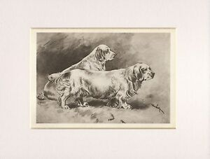 CLUMBER SPANIEL RARE 1906 ANTIQUE DOG PRINT by ARTHUR WARDLE READY MOUNTED