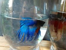 New listing Live betta fish Male Blue Crown tail #14 (Imported from thailand)