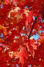 Autumn Blaze® Maple Tree - Jeffersred - Established 1 Plant in 1 Gallon Pot