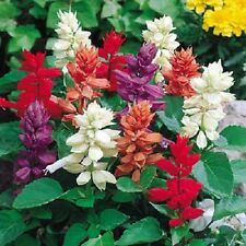 100 Palisades Mixed Colors Salvia Horminum Sage Flower Seeds *Comb S/H Free Gift