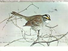 White Throated Sparrow  zonotrichia albicollis  Mail 1967  Chrome Postcard 2218