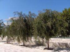 PEPPERMINT TREE SEEDS SMALL FLOWERING TREE AGONIS FLEXUOSA SEED GARDEN