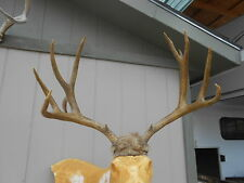 NON-TYPICAL 7x6 winter kill Colorado MULE DEER RACK ANTLERS  whitetail