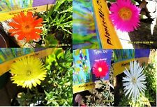 Succulent PIGFACE 5 Variety Yellow Orange Red Pink White 2 cuttings each