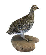 Sharptail Grouse Bird Professional Taxidermy Mounted Animal Statue Home Gift