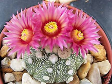 Astrophytum Super Kabuto Red Flower cacti exotic rare color cactus seed 20 Seeds