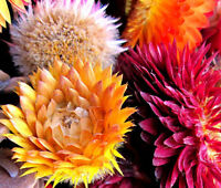 STRAWFLOWER MIXED COLORS Helichrysum Monstrosum - 1,000 Bulk Seeds