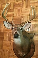 Whitetail Deer Head Shoulder Mount Beautiful Taxidermy (8 point)