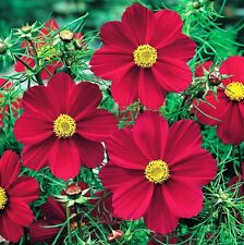 Cosmos Seeds - Versailles Red - Bright Red - Cosmos Bipinnatus- 25 Seeds