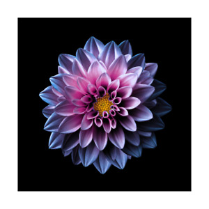 Dahlia Flower Framed Canvas Digital Photo Print Home Office Decor Wall Picture