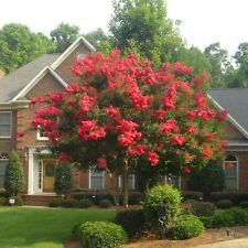 35+  Crape Myrtle Red Seeds / Perennial Tree