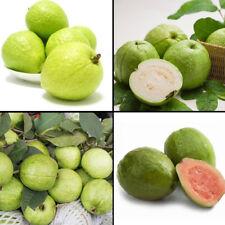 50PCS GUAVA SEEDS PSIDIUM GUAJAVA TROPICAL FRUIT PLANT GARDEN TREE BONSAI STRICT