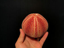 Coquillage / Decoration Marine / Superbe test d'Oursin de Mer du Nord!