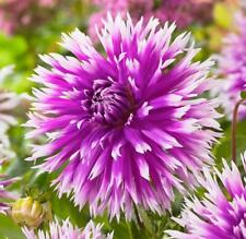 Dahlia Bulb/Tuber Semi-Cactus 'Table Dancer' Quality WPC Prins Summer Bulbs