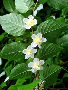 Actinidia Polygama * Silver Vine Kiwi * Unusual * 5 Rare Seeds *