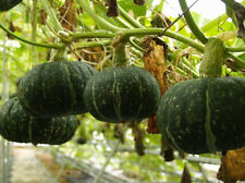 weet Japan pumpkin seed 8 seeds Vegetable melon SGarden yard Patio Plants