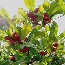 10 + 2 Seeds Miracle Fruits/ Synsepalum Dulcificum