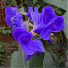 Blue Canna Lily Bulbs Fresh Flower Perennial Resistant Plant Potted Bonsai Fancy