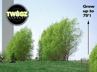 """1 huge Austree Hybrid Willow growing 36"""" Salix 3 ft Cutting Thick fence Fresh!"""