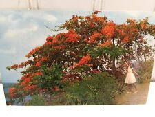 Vintage  Martinique Bougainvillee Tree Postcard  23171
