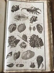 Antique Print C 1770 - Large - Shells  - Natural History - Sylvanus Walcott